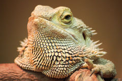 Pogona Portrait Stock Photography