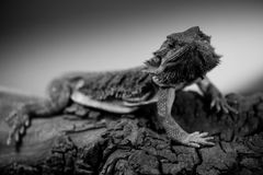 Pogona - portraits noirs et blancs d'animaux de dragon barbu oriental Photos stock
