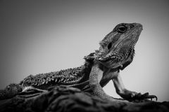 Pogona - portraits noirs et blancs d'animaux de dragon barbu oriental Photos libres de droits