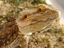 Pogona Royalty Free Stock Photos