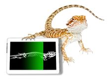 Pogona skeleton ct scan. Pogona vitticeps showing its ct scan of x-ray skeleton in a tablet. White studio background. Exotic veterinarian diagnostic tomography royalty free stock photos