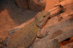 Pogona uppsökte draken Arkivfoton
