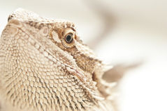 Pogona viticeps Royalty Free Stock Photos