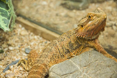 Pogona viticeps Royalty Free Stock Image