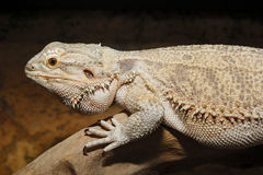 Pogona vitticepes. Big lizard on the wood Royalty Free Stock Photos