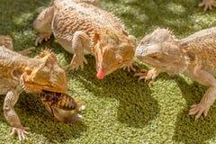 Pogona Vitticeps που ανταγωνίζεται για τα τρόφιμα στοκ φωτογραφίες
