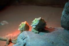 Pogona vitticeps. Two Pogona vitticeps, Australian bearded dragon propagating Royalty Free Stock Images
