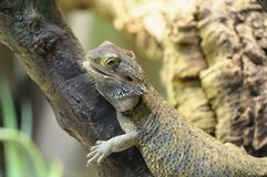 Pogona vitticeps Royalty Free Stock Images