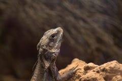 Pogona vitticeps. Australian bearded dragon Stock Images