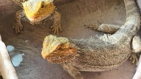 Cold blooded Pogona Vitticeps drinking. Pogona Vitticeps also called Dragon bearded for the presence of scales under the neck that swell and darken when it`s stock image