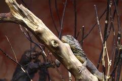 Pogona vitticeps. Australian bearded dragon Royalty Free Stock Photo