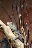 Pogona vitticeps. Australian bearded dragon Stock Photo