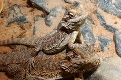 Pogona vitticeps, Australische gebaarde draak. stock foto