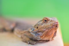 Pogona vitticeps, Pogona barbata.Proud Bearded Agama sits on a stand on a green background in a terrarium close - up of the neck. And head of a lizard royalty free stock photography
