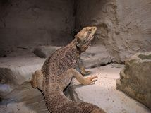 Pogona Vitticeps Bartagame Bearded Dragon. Male Bearded Dragon, Pogona Vitticeps stock images