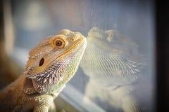 Pogona vitticeps. Bearded dragon portrait with reflexion on the terrarium window Royalty Free Stock Images