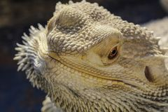 Pogona vitticeps. Bearded dragon portrait with reflexion on the terrarium window Royalty Free Stock Photo