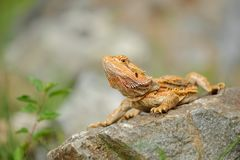 Pogona vitticeps. Central bearded dragon standing on stone next to green flower Royalty Free Stock Photo