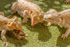 Lizards eating Stock Photos