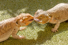 Pogona Vitticeps Competing for Food Stock Photo