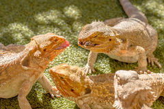 Pogona Vitticeps Competing for Food Royalty Free Stock Photography