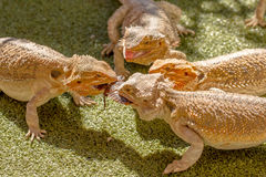 Reptiles fighting. Pogona Vitticept reptiles competing for food, biting each other. Green background Royalty Free Stock Photography