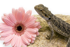 Pogona vitticeps and flower Royalty Free Stock Photography