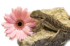 Pogona vitticeps and flower Stock Images