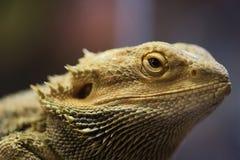 Pogona vitticeps with light green skin. Bearded dragon stock image