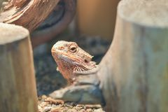 Pogona vitticeps, Pogona barbata. Proud Bearded Agama looks out from under the shelter in a terrarium, close-up of the neck and royalty free stock images