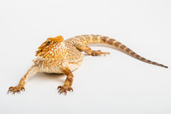 Pogona isolated. Pogona or Central Inland Bearded Dragon Lizard on a white background Royalty Free Stock Images