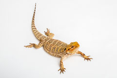 Pogona Vitticept. Portrait of a central bearded dragon, pogona vitticeps, on a white background Royalty Free Stock Image