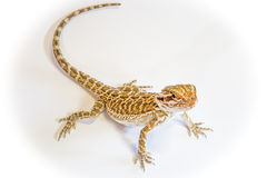 Dragon Bearded Lizard. Pogona or Dragon Bearded Lizard standing in a shadow, isolated in white background Royalty Free Stock Images