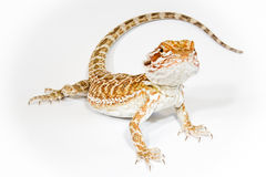 Pogona isolated. Pogona or Central Inland Bearded Dragon Lizard on a white background Stock Photography