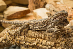 Pogona Vitticept o Bearded Dragon Lizard Australian Royalty Free Stock Images