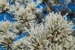 Pogonip Pines Stock Photo