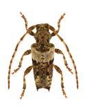 Pogonocherus pepa Stock Image