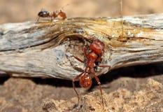 Pogonomyrmex worker ant Royalty Free Stock Photo