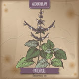 Pogostemon cablin aka Patchouli color sketch on vintage background. Stock Images