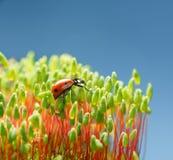 Pohlia moss and ladybird Royalty Free Stock Photos