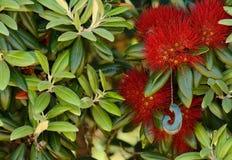 Pohutakawa drzewo Zdjęcie Stock