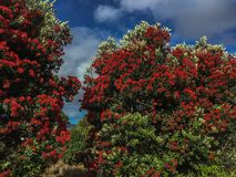 Pohutakawa lövverk Nya Zeeland Arkivfoto