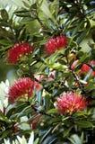 Pohutuakawa Tree, New Zealand Royalty Free Stock Photography