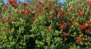 Pohutukawa树背景全景,新西兰 库存照片