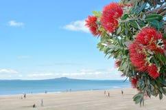 Pohutukawa红色花开花在12月 库存图片