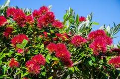 Pohutukawa,在Te Whara轨道的圣诞树与上面天空蔚蓝在旺阿雷头,北国,新西兰 免版税库存图片