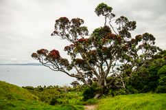 Pohutukawa, árbol de navidad en Te Whara Track con el cielo azul arriba en las cabezas de Whangarei, tierra del norte, Nueva Zel imagen de archivo libre de regalías