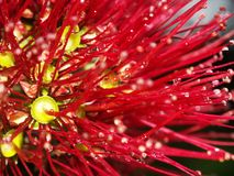pohutukawa λουλουδιών Στοκ Φωτογραφία