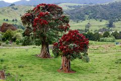 Pohutukawa Χριστουγεννιάτικο δέντρο της Νέας Ζηλανδίας Στοκ Φωτογραφίες