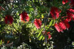 Pohutukawa. With it's bright red crimson flowers.     and its cousin rata also hold a prominent place in Maori tradition. Legends tell of Tawhaki, a young Maori Royalty Free Stock Image